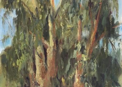 Old Eucalyptus